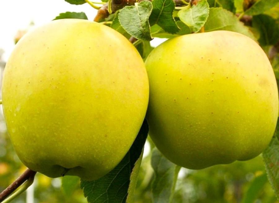Яблоня Голден Смути, карликовая