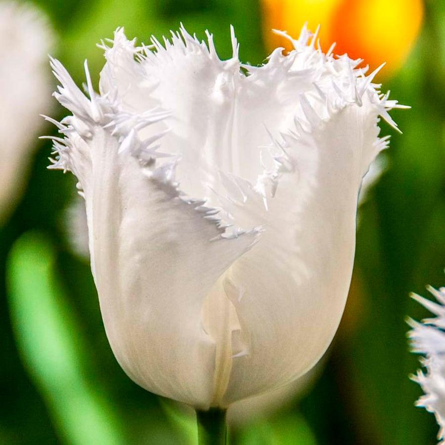 Тюльпан 'Honeymoon' (Ханимун)