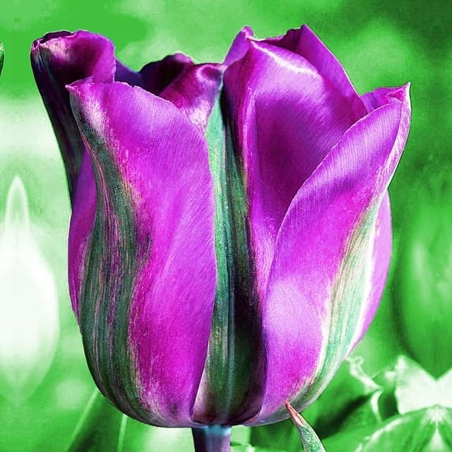 Тюльпан 'Violet Bird' (Вайлет Берд)