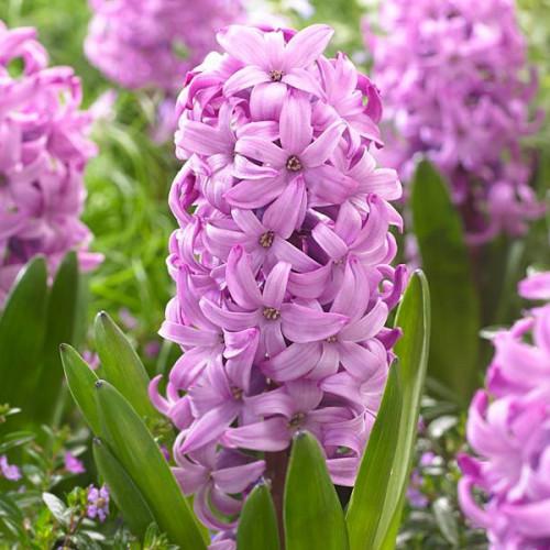 Гиацинт 'Purple Pride' (Перпл Прайд)