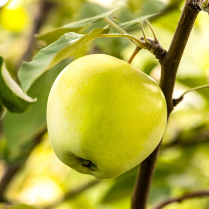 Яблуня Кальвиль Сніговий